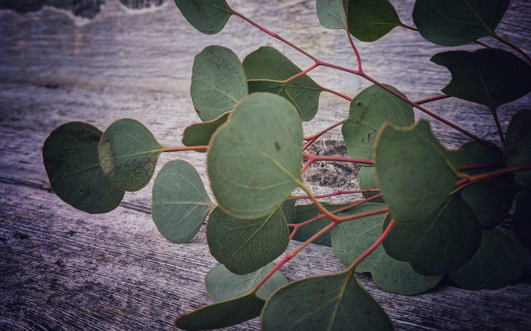 Eukalyptusolje